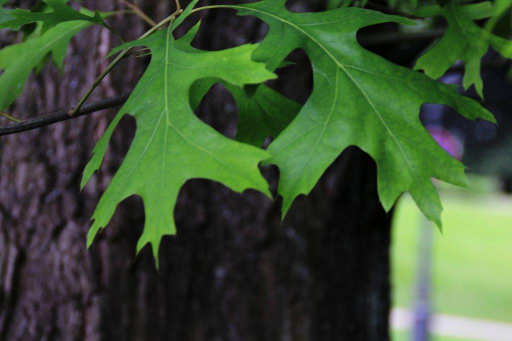 Die Blätter der Scharlacheiche