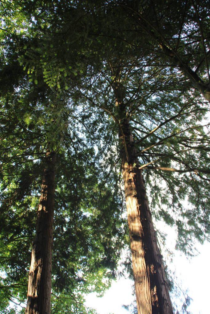 Thujas (Lebensbäume) im Arboretum auf dem Leisberg