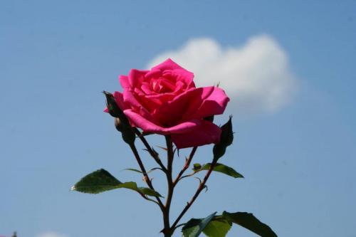 Rose in der Gönneranlage